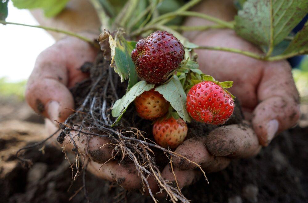 Bio-Erdbeeren vom Heideboden