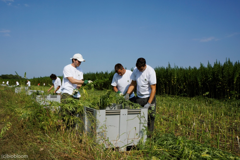 CBD_Ernte, Firma BioBloom aus Apetlon