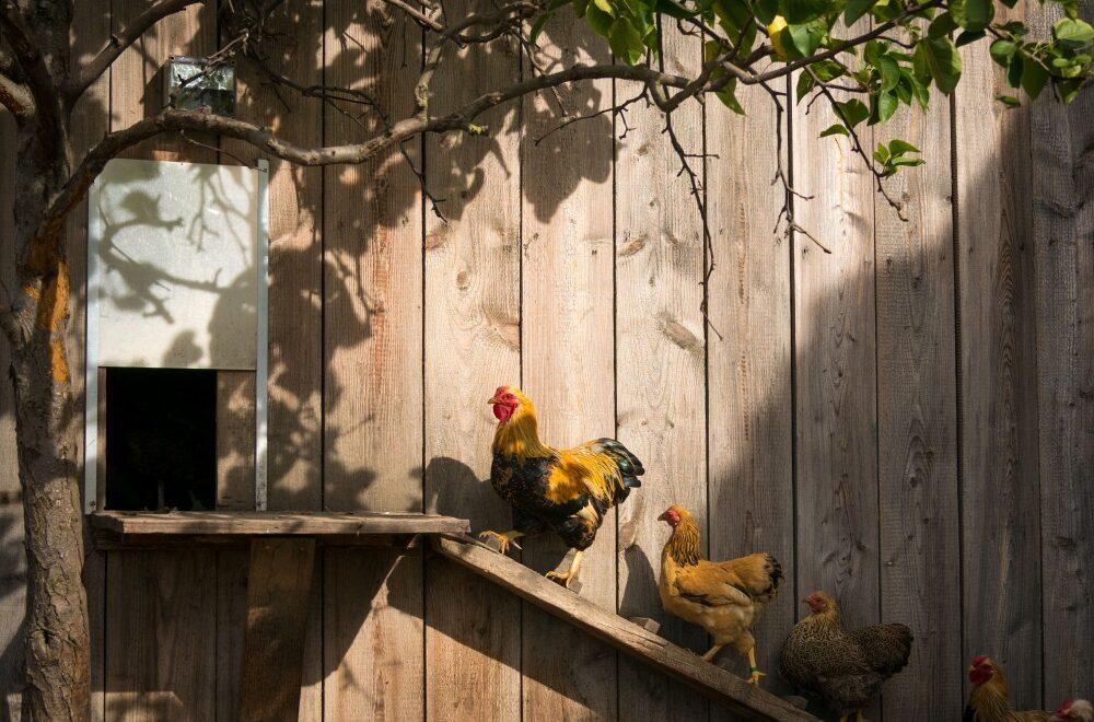 Meinklang Tierhaltung Hühner